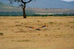 Two isolated fighting antelope. Kalahari, South Africa,Kanya,africa african animal antelope buck conservation endangered environment equinus fauna grass Royalty Free Stock Image