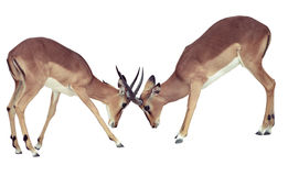 Two isolated fighting antelope. In national park of Namibia Stock Photography