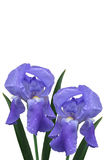 Two isolated Irises with water drops Royalty Free Stock Photos
