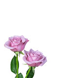 Two Isolated Pink Roses Stock Photo