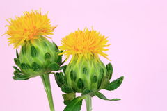 Two isolated safflower Stock Photo