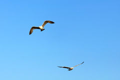 Two isolated seagulls Royalty Free Stock Photos