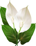 Two isolated spathiphyllum flowers Stock Images