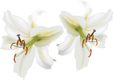Two isolated white lily blooms Royalty Free Stock Images
