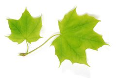 Two isolated young maple leaves Royalty Free Stock Photo