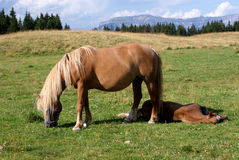 Two Italian horses in mountain Stock Image