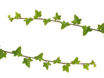 Two ivy branches Stock Photo