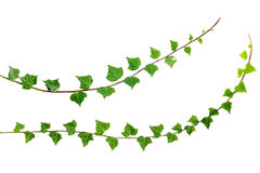 Two ivy branches royalty free stock images