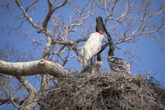 Two Jabiru Stork Chicks in Nest Begging from Adult Royalty Free Stock Photography