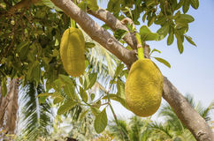 Two jacfruits. Two jackfruit are grown among coconut orchard Stock Image