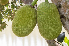 Two jack fruits hanging on the tree Stock Photos