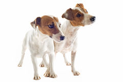 Two jack russel terrier Stock Photo