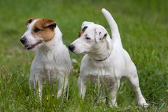 Two Jack Russel Terrier Royalty Free Stock Images