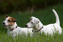Two Jack Russel Terrier Stock Image