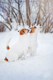 Two Jack russel terrier portrait in winter Royalty Free Stock Photos