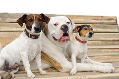 Two jack russel terriers and American bulldog Stock Photo
