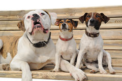 Two jack russel terriers and American bulldog Royalty Free Stock Images