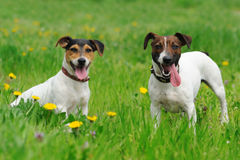Two jack russel terriers Stock Image