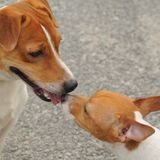 Two jack russell making contact royalty free stock images