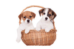Two Jack Russell puppies (1,5 month old) on white. Two Jack Russell puppies (1,5 month old) isolated on white royalty free stock image