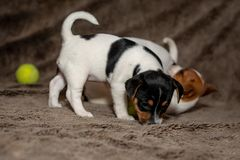 Two Jack Russell puppies play with each other for brown blankets.  stock photos