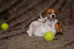 Two Jack Russell puppies play with each other for brown blankets.  stock photo