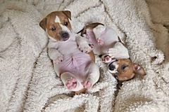 Two Jack Russell Puppies. Two Puppies of Jack Russell terrier playing on the blanket royalty free stock photos