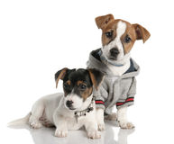 Two Jack russell puppy (3 months old) Royalty Free Stock Images
