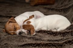 Two Jack Russell puppy sleeping on brown blankets. Two Jack Russell puppy sleeping on brown blankets stock image