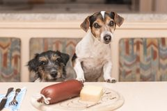 Hungry Jack Russell Terrier dog royalty free stock photos