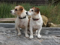 Two Jack Russell terrier dogs on log Royalty Free Stock Photo