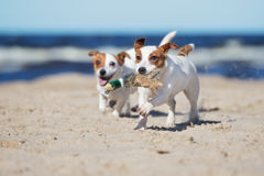 Two jack russell terrier dogs playing on a beach. Jack russell terrier dogs on a beach Stock Photography