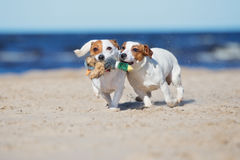 Two jack russell terrier dogs playing on a beach. Jack russell terrier dogs on a beach stock photos