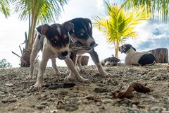 Two jack russell terrier dogs playing with a toy. Little puppy dogs share food. dispute, conflict, inappropriate dinner. Neil Island, Andaman and Nicobar royalty free stock photo