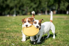 Two Jack Russell Terrier dogs standing side by side and holding Royalty Free Stock Photography