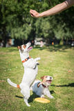 Two Jack Russell Terrier dogs standing side by side and holding. Two Jack Russell Terrier dogs playing with each other Royalty Free Stock Photography