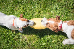 Two Jack Russell Terrier dogs standing side by side and holding. Two Jack Russell Terrier dogs playing with each other Stock Photos