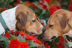 Two Jack russell terrier sniffing each other. Two Jack russell terrier gently sniff each other among red flowers Stock Image