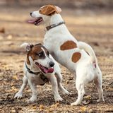 Two Jack Russell Terrier playing in the garden.  stock photography