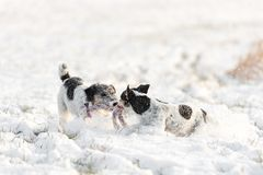 Two Jack Russell Terrier playing in winter on an meadow in snow stock image