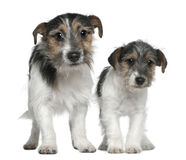 Two Jack Russell Terriers. 4 months and 1 years old, standing in front of white background Stock Photography