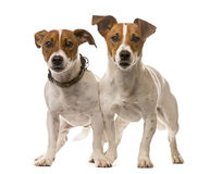 Two Jack Russell Terriers. In front of a white background Stock Photo