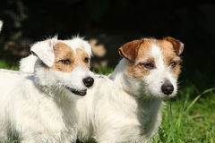 Two Jack Russell terriers Royalty Free Stock Images