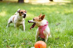 Small dog defends her toy showing fangs and barking Royalty Free Stock Images