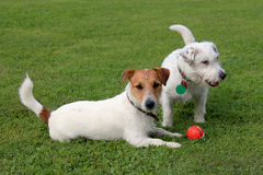 Two Jack Russell Terriers. And red plastic toy Stock Photography