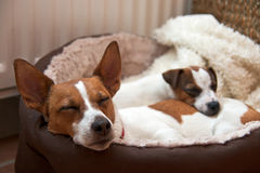 Two Jack Russell terriers sleeping Stock Photos