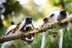 Jack russells fight over stick stock photography