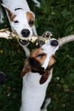 Jack russells fight over stick stock image