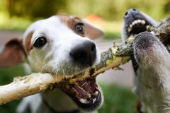 Jack russells fight over stick royalty free stock images