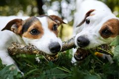 Jack russells fight over stick royalty free stock photos